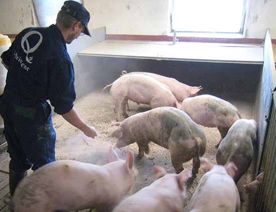 Staldren® Green on the job with pigs