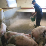 Staldren® on the job with pigs