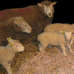 Staldren® on the job with sheep and goats