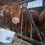 Mineral Lick on the job with cattle